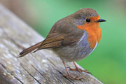Robin Photos - Robin by Carl Whitfield