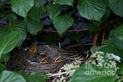 Passerines Prints - Robin Nestlings Print by Ted Kinsman