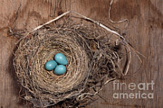 American Robin Photos - Robins Nest With Eggs by Ted Kinsman