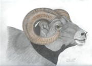 Rocky Drawings Prints - Rocky Mountain Sheep Print by Don  Gallacher