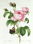 Redoute Paintings - Rosa Centifolia by Pierre Joseph Redoute