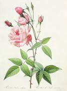 Leaves Drawings Metal Prints - Rosa Indica Vulgaris Metal Print by Pierre Joseph Redoute