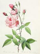 Rosa Indica Vulgaris Print by Pierre Joseph Redoute