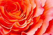 Orange Rose Prints - Rose Print by Angela Doelling AD DESIGN Photo and PhotoArt