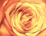 Purple Flora Digital Art Prints - Rose in orange Print by Kristin Kreet
