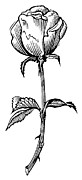 Rose, Lino Print Print by Gary Hincks