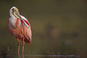 Breeding Posters - Roseate Spoonbill Adult In Breeding Poster by Tim Fitzharris