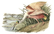 Shorebird Paintings - Roseate Spoonbill by John James Audubon