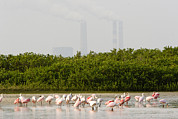 Flocks Of Birds Prints - Roseate Spoonbills Ajaia Ajaja Feed Print by Tim Laman
