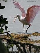 Spoonbill Photos - Roseate Wave by Kimberly Mohlenhoff