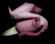 Rosebud Print by Teresa Dixon
