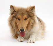 Panting Dog Prints - Rough Collie Print by Mark Taylor