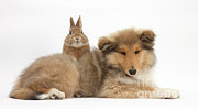 Collie Framed Prints - Rough Collie Pup With Rabbit Framed Print by Mark Taylor