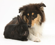 Fauna Metal Prints - Rough Collie With Black Rabbit Metal Print by Mark Taylor
