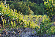 Chianti Vines Photo Prints - Rows of Grapevines at Sunset Print by Jeremy Woodhouse