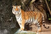 Royal Bengal Tiger Print by Anek Suwannaphoom