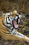Panthera Photo Posters - Royal Bengal Tiger Poster by Tony Camacho