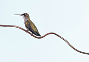 Side View Art - Ruby Throated Hummingbird by Jim McKinley