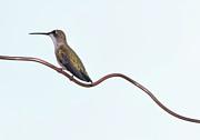 Ruby Throated Hummingbird Print by Jim McKinley
