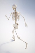 Human Skeleton Art - Running Skeleton, Artwork by Andrzej Wojcicki