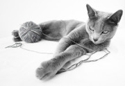 Cats Metal Prints - Russian Blue Metal Print by Nailia Schwarz