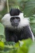 Rwanda Prints - Ruwenzori Black-and-white Colobus Print by Tony Camacho