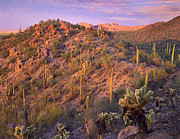 Teddybear Prints - Saguaro And Teddybear Cholla Print by Tim Fitzharris