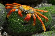 Chromatic Contrasts Posters - Sally Lightfoot Crab, Grapsus Grapsus Poster by Tim Laman