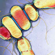 Microbial Prints - Salmonella, Tem Print by Henrik Chart, Centre For Infectionshealth Protection Agency