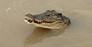 Salt Water Prints - Salt Water Crocodile 3 Print by Bob Christopher