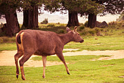 Horton Prints - Sambar Deer. Horton Plains National Park. Sri Lanka Print by Jenny Rainbow