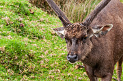 Jenny Rainbow - Sambar Deer.VI Horton Plains National Park. Sri Lanka