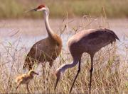 Hill Pyrography Prints - Sandhill Crane Family Print by Richard Nickson