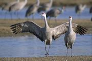Sandhill Crane Posters - Sandhill Cranes Roost Along The Platte Poster by Joel Sartore