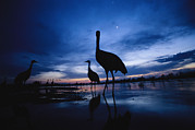River Scenes Posters - Sandhill Cranes Roost On The Platte Poster by Joel Sartore