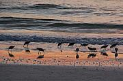 Sandpipers On Siesta Key Print by Shawn McLoughlin
