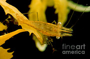 Leander Framed Prints - Sargassum Shrimp Framed Print by Danté Fenolio