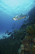 Fish Swimming Prints - School Of Tarpon, Bonaire, Caribbean Print by Terry Moore