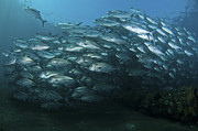 Swimming Fish Photos - School Of Trevally Swimming By, Bali by Mathieu Meur