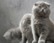 Scottish Fold Cats Print by Evgeniy Lankin