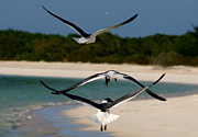 Soaring Framed Prints - Sea birds Framed Print by Ivan SABO