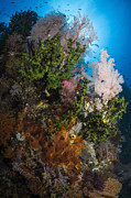 Raja Ampat Photos - Sea Fan On Soft Coral In Raja Ampat by Todd Winner