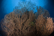 Sea Fans Framed Prints - Sea Fan Seascape, Belize Framed Print by Todd Winner