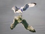 Sea Gull Reflection Print by Paulette  Thomas