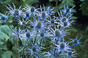 Botanical Flowers Prints - Sea Holly (eryngium X Oliverianum) Print by Archie Young