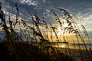Oats Prints - Sea Oats Print by Matthew Trudeau