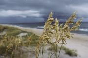 Atlantic Beaches Photo Framed Prints - Sea Oats Uniola Panicolata Help Anchor Framed Print by David Alan Harvey
