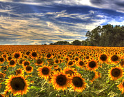 Joe Paniccia - Sea of Sunflowers