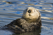 Otter Photos - Sea Otter  Elkhorn Slough Monterey Bay by Sebastian Kennerknecht