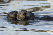 Otter Framed Prints - Sea Otter Mother And Pup Elkhorn Slough Framed Print by Sebastian Kennerknecht